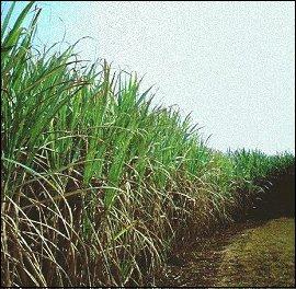 champ de cannes à sucre